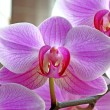 Orchid — Stock Photo #9036596