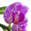Orchid — Stock Photo #9036882