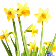 Daffodils — Stock Photo #9376847