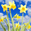 Daffodils — Stock Photo #9376879