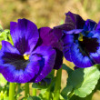 Foto Stock: Beautiful pansy