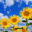 Sunflower and blue sky with clouds — Stock fotografie