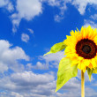 Sunflower and blue sky with clouds — Stok fotoğraf