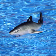 Toy shark in swimming pool — Stock Photo