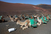 Camels waiting for tourists in national park Timanfaya on Lanzarote, Spain — Stock Photo