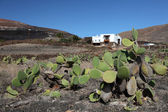 Cactus in front of traditional house on Lanzarote, Canary Islands Spain — Stock Photo
