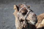Camel in National Park of Timanfaya, Lanzarote — Stock Photo
