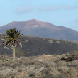 Typical Lanzarote landscape, lava, palm tree and volcano — Stock Photo #8295721