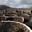 Vineyard in volcanic soil of Canary Island Lanzarote, Spain — Stock Photo #8331426