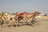 Racing camels with a robot jockeys, Doha Qatar — Stock Photo