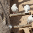 White doves at the pigeon tower in Doha, Qatar — Stock Photo