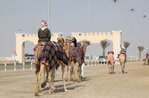 Racing camels on the way to race course in Doha, Qatar — Stock Photo