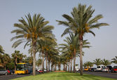 Palm Trees at Avenida del Saladar in Jandia Playa, Canary Island Fuerteventura — Stock Photo