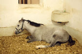 Arabian horse in the stable — Stock Photo