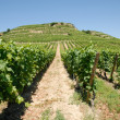 Stock Photo: Vineyard in the Provence, France