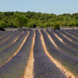 Lavender field in the Provence, France — 图库照片
