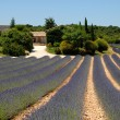 Stock Photo: Farmhouse and lavender field in the Provence, France