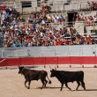 Stock Photo: Two bulls in the Roman arena in Arles, France