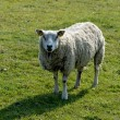 Sheep in a meadow — Stock Photo #9455078