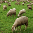 Sheep in a meadow — Stock Photo #9456242