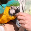Blue Ara Parrot Eating from Hand — Stock Photo