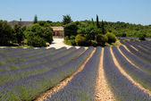 Farmhouse and lavender field in the Provence, France — Stock Photo