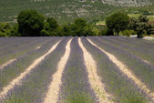 Lavender field in the Provence, France — Stock Photo