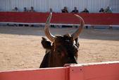 フランス アルルのローマ アリーナの雄牛します。 — ストック写真
