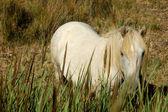 White camargue horse — Stock Photo