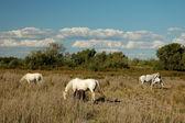 White camargue horses — Stock Photo