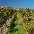 Vineyard at the Rhine River in Germany — Stock Photo