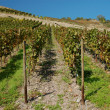 Stock Photo: Vineyard at Rhine River in Germany
