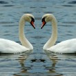 Royalty-Free Stock Photo: Loving swan couple