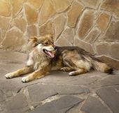 Homeless stray dog laying at urban road — Stock Photo