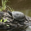 Waterside scenery with European pond terrapin - Stock Photo