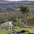 Single sheep on hill in scotland - Stock Photo