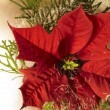 Stock Photo: Poinsettiflower