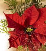 Poinsettia flower — Stock Photo