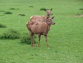 Kronhjortar på gröna gräsmark — Stockfoto
