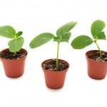 Cucumber seedlings — Stock Photo #7976339