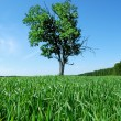 Oak in the field — Stock Photo #7976368