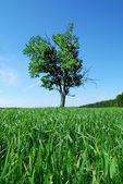 Oak in the field — Stock Photo