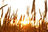Rye at sunset — Stock Photo