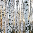 Birch forest in autumn — Stock Photo #8754167