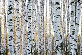 Birch forest in autumn — Stock Photo