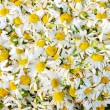 Stock Photo: Daisies background