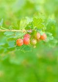 Gooseberry — Stock Photo