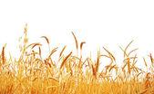 Wheat rop. — Stock Photo