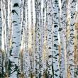 Birch forest in autumn — Stock Photo #8904387