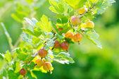 Gooseberry bush. — Stock Photo